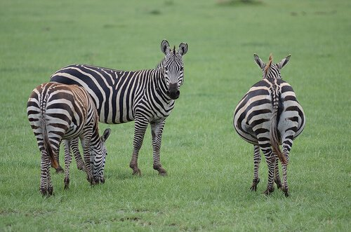 Cosa c'è da sapere sulla zebra?