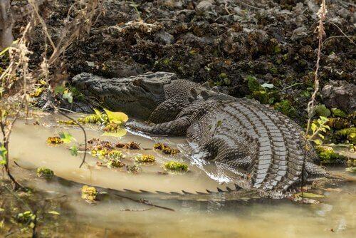 Coccodrillo marino sul bagnasciuga prende il sole
