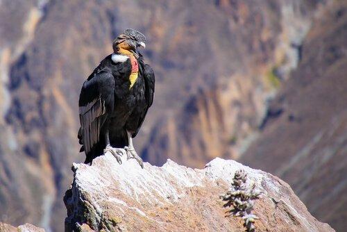 Condor delle Ande scruta il terreno da una montagna