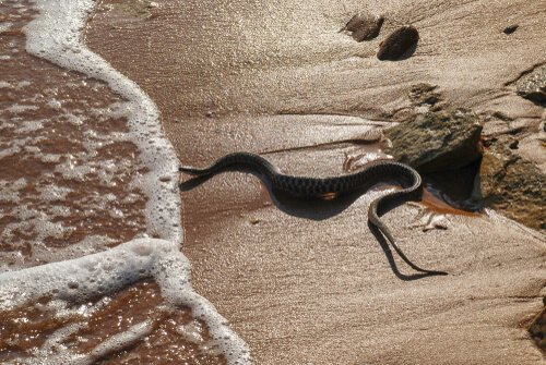 Serpente di mare testa nera sul bagnasciuga