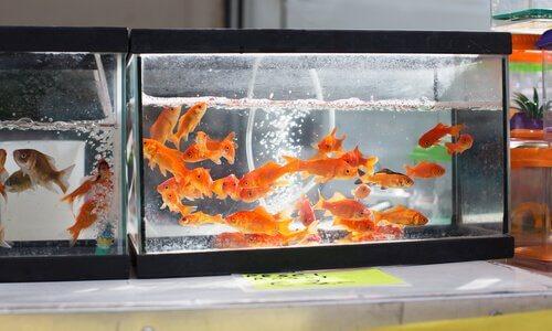 acquario con pesci