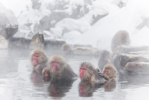 alcune scimmie nei bagni termali sulla neve