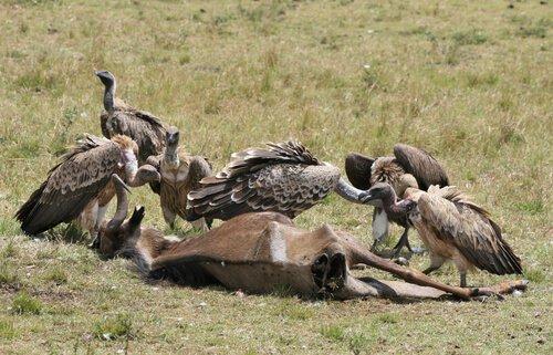 avvoltoi divorano carcassa