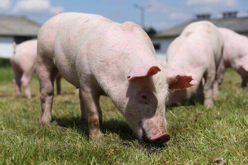 alcuni maialini mentre brucano l'erba