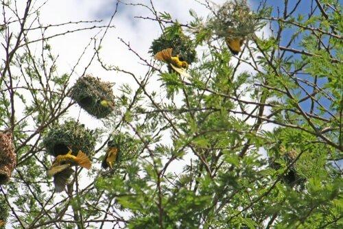 Nidi sospesi fatti da uccelli tessitori
