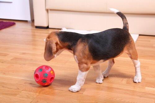 Cagnolino gioca con palla in salotto