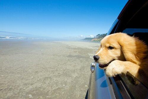 Cane con testa fuori dal finestrino