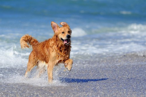 Golden retriever corre nel mare