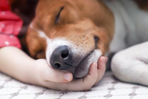 Trattamento e contagio del cimurro nei cani