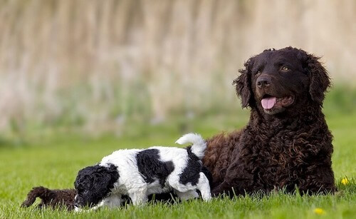 Wetterhoun: cane da caccia acquatica