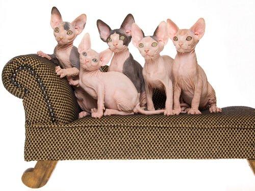 cinque gatti egiziani senza pelo sul sofa