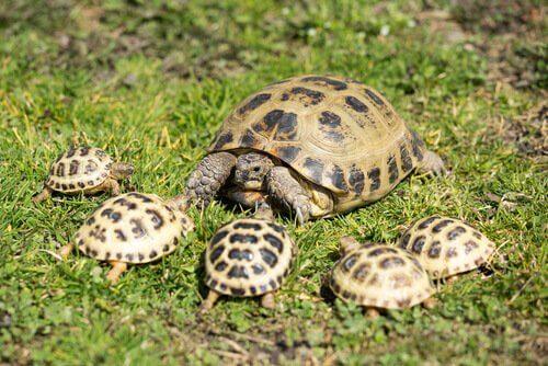 cinque tartarughe di Horsfield con la loro madre