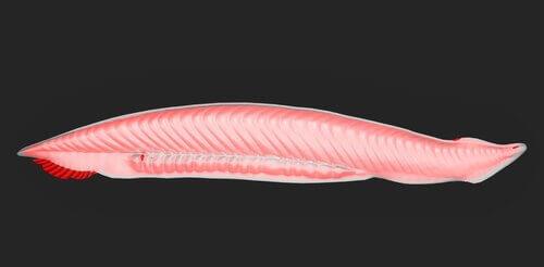 Coda protocerca