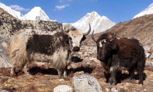 Bue muschiato Himalaya