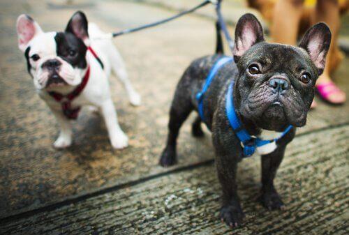 Due cagnolini con imbracatura per strada