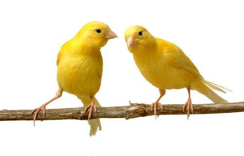 due canarini sul ramo