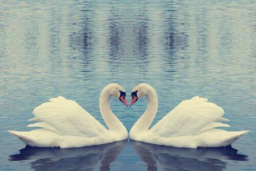 Due cigni su un lago con i colli che formano un cuore