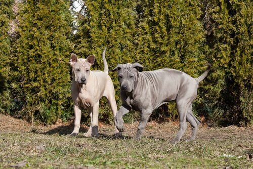 due cuccioli di Thai Ridgeback Dog