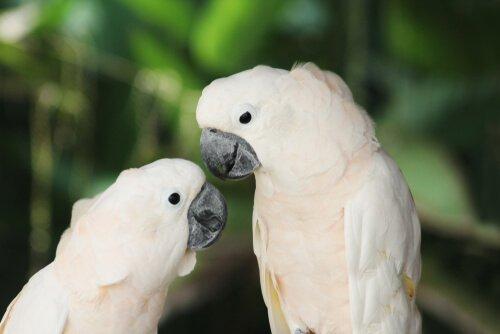 due esemplari di Calopsitta bianca