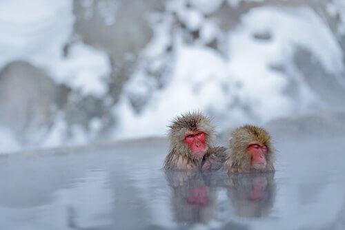 Le scimmie che amano i bagni termali