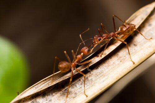 Formiche lottano su una foglia