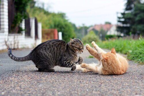 due gatti lottano in strada