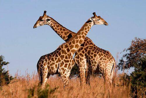 Giraffe incrociano i loro colli per l'accoppiamento