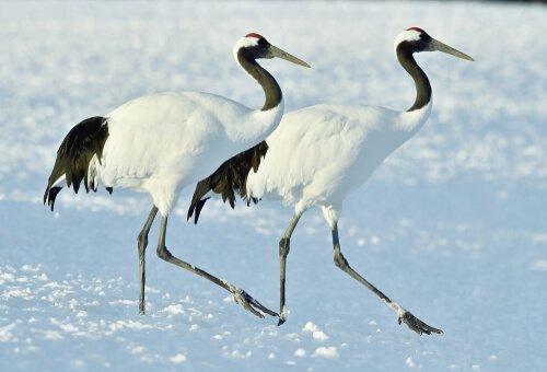due gru delle nevi camminano insieme