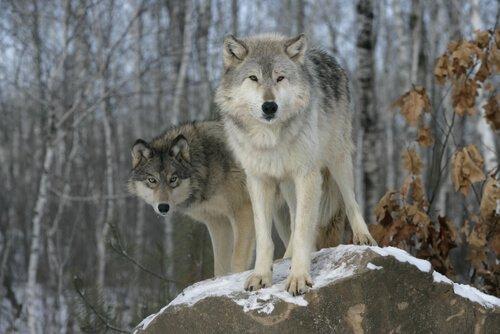 Lupi nel bosco