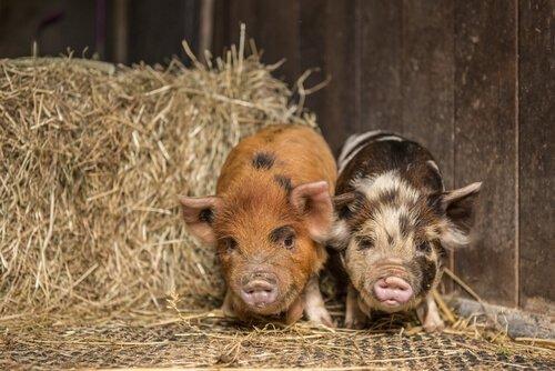 due maialini vietnamiti in una stalla piena di fieno