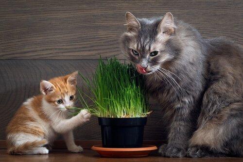 Due mici mangiano erba gatta