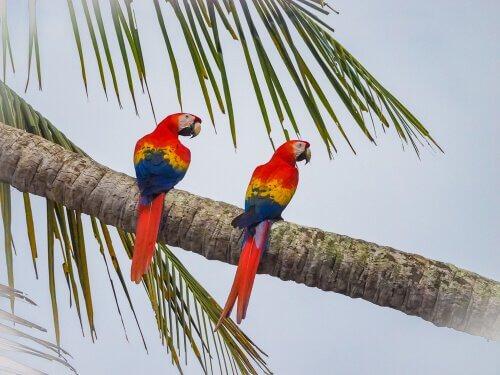due pappagalli ara scarlatto sul tronco di una palma