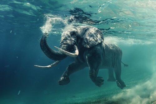 Elefante in acqua