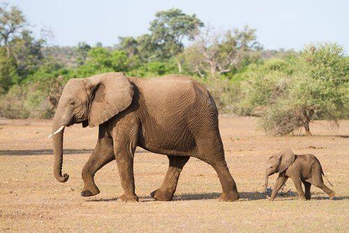 elefantino segue mamma nella savana