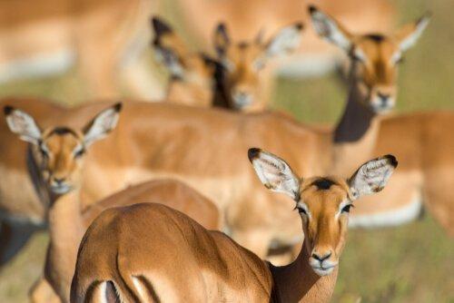 femmine di impala al pascolo