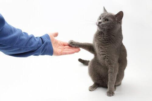 Gatto con la zampa sulla mano del padrone