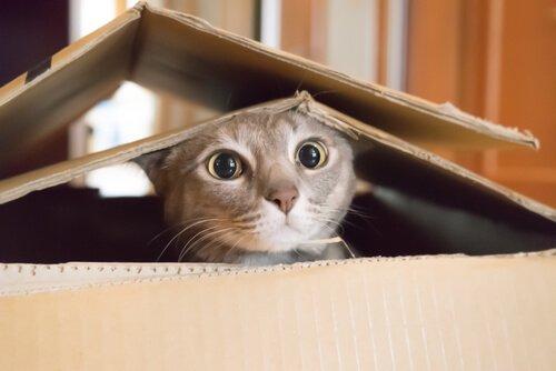 gatto dentro la scatola