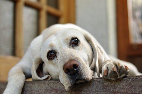 Perché il cane piange quando andate via?