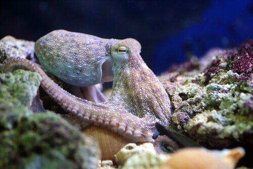 il capo di un polpo emerge tra le rocce del mare