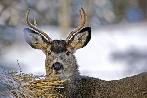 il cervo mulo con le sue corna piccole e orecchie grandi