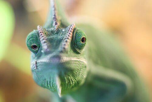 il muso di un camaleonte verde visto da vicino