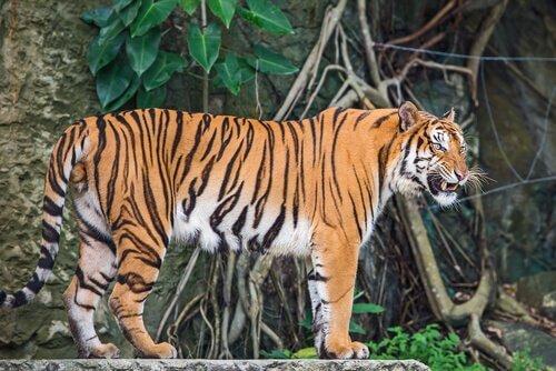 Profilo di una tigre dell'indocina