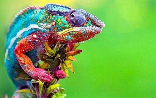 Pelle multicolore di un camaleonte