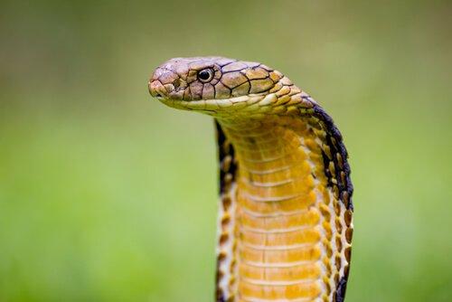 Cobra reale