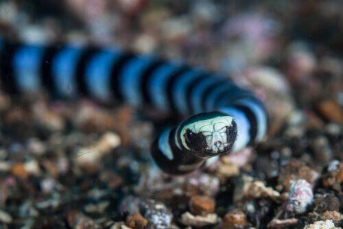 la testa di un Serpente di mare bocca gialla