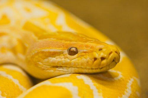 la testa di un serpente giallo