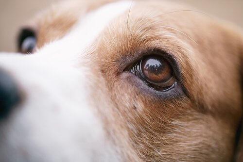 Che fare se il cane ha male agli occhi?