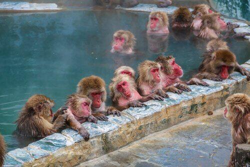 Macachi dalla faccia rossa in acque termali