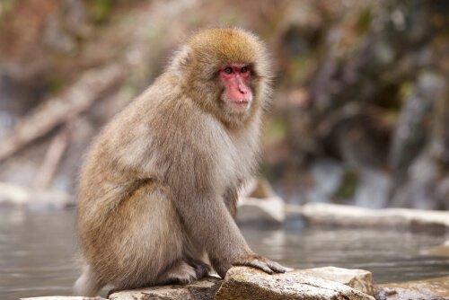 Il macaco dalla faccia rossa: un curioso primate