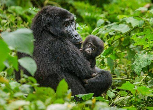 madre di gorilla di montagna abbraccia un cucciolo nella foresta